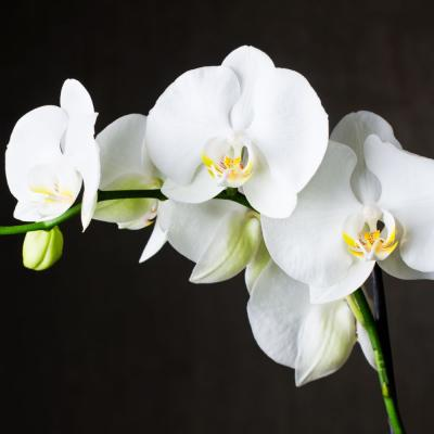 31556 orchidee phalaenopsis tokyo 2 tiges blanche 7
