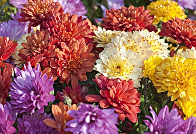 Chrysanthemes petits fleurs l750 h512 c